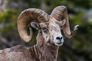 Detailed view of Bighorn Sheep Ram
