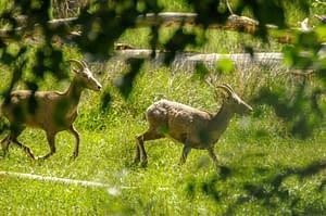 Bighorns walking in native grass